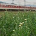 Photos: 小菊と近鉄電車