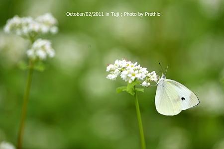 蕎麦の蝶 モンシロ君