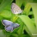 写真: 美しいオスのブルー