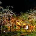 Photos: 函館公園の夜桜