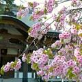 Photos: 光善寺の血脈桜
