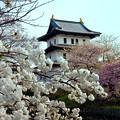 桜が満開の松前城