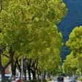 風薫る新緑の並木通り