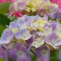 梅雨に咲く花~アジサイ&ツツジ~