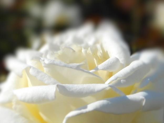 初夏に咲く 甘い香りの 白い薔薇 ♪