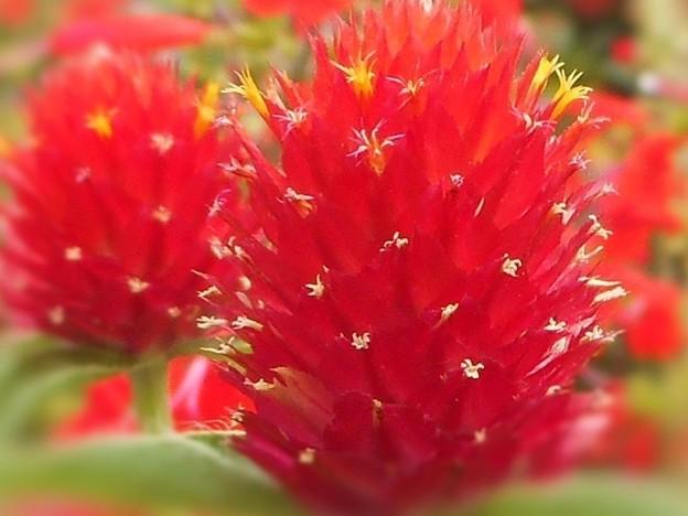 イチゴ色の花 ストロベリーフィールド(千日紅)