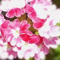 Photos: キュートなバーベナは春と秋の二度咲きをする~宿根草