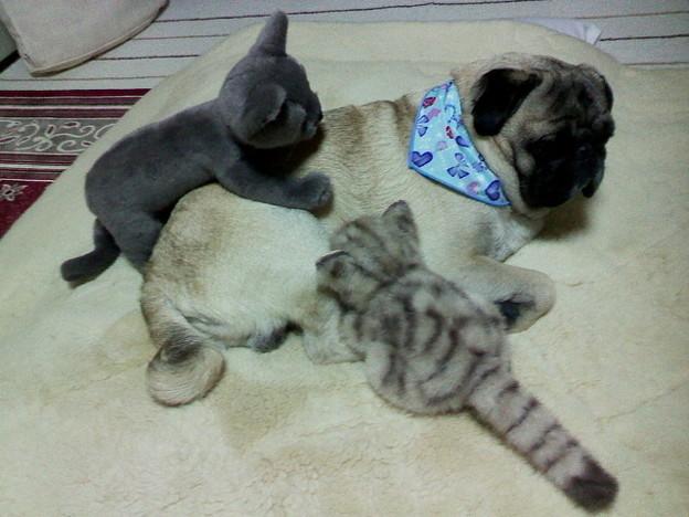 子猫に懐かれるパグ