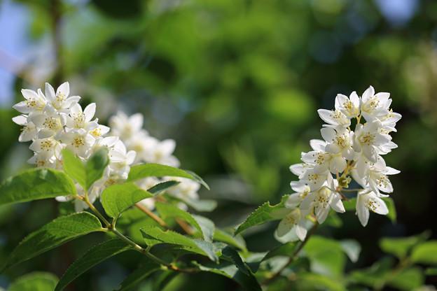 ウツギ(空木、卯の花)