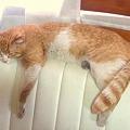 Photos: こぞ 昼寝中 捨て猫こぞもここまで大きくなりました