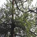 Photos: はま松で宿って待つわ~? マツグミヤドリギ(松茱萸宿木) ヤドリギ科
