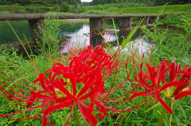 Photos: 彼岸花咲いて