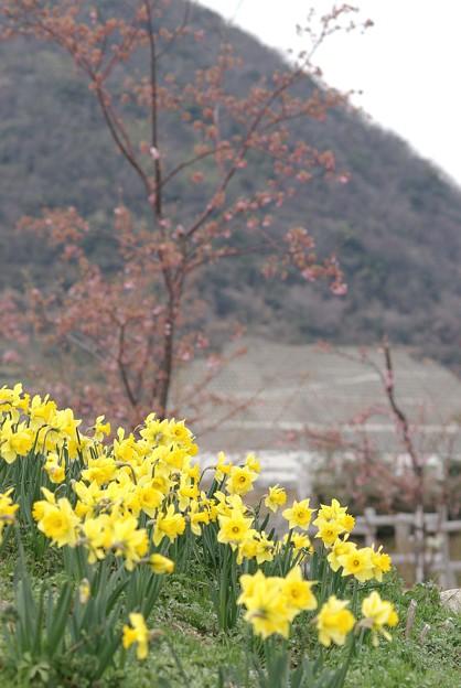 IMGP9004上関町、城山公園スイセン