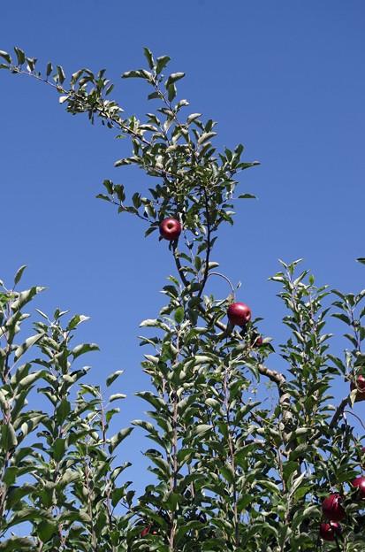 IMGP4768山口市、りんご狩り、林檎の樹らら3