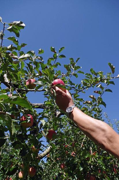 IMGP4772山口市、りんご狩り、林檎の樹らら4