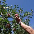 Photos: IMGP4772山口市、りんご狩り、林檎の樹らら4
