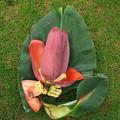 宮崎ミニバナナの花