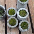 コンクリート鉢に苔