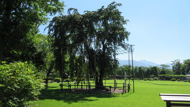 松本城 駒つなぎの桜(長野県)