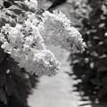 Hydrangea quercifolia(柏葉紫陽花)