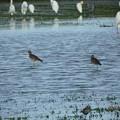 写真: 休耕田の鳥03