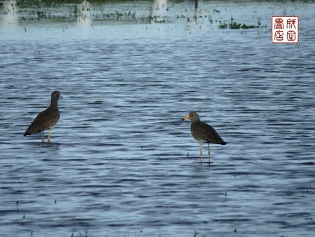 休耕田の鳥05