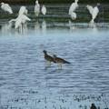 写真: 休耕田の鳥10
