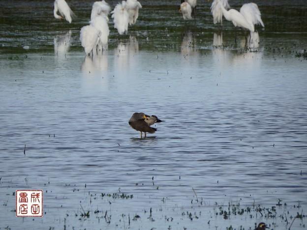 写真: 休耕田の鳥14