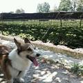 Photos: 今日は大王わさび農場にきた。凄い暑さのためウチのウェルシュコーギ...