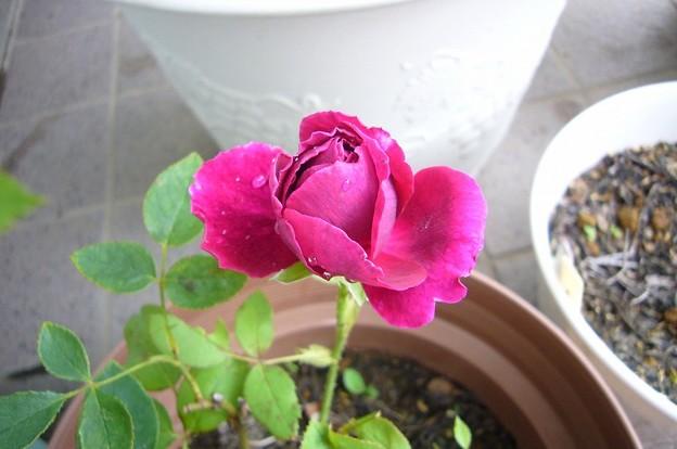 150707-6 赤紫のバラの蕾