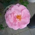 Photos: 150828-1 ピンクのバラ