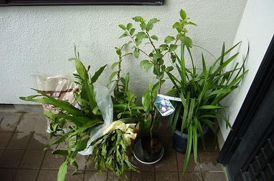 150924-2 いただいた植木色々