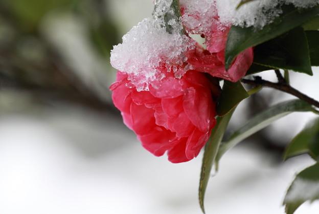 雪サザンカ(3)