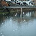 浅野川 中の橋 ユリカモメ