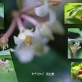 ヤブコウジの花と実