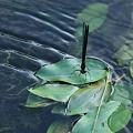 水辺のハグロトンボ (2)