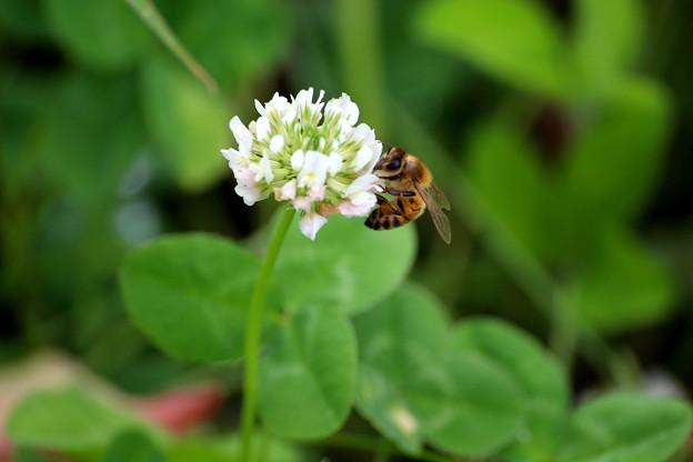 Photos: シロツメクサとハチ