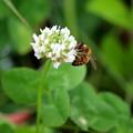シロツメクサとハチ