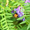クサフジとハチ