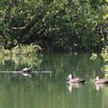 写真: 鴨と亀