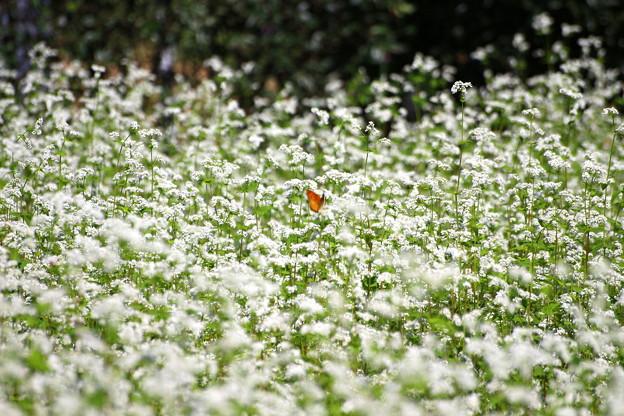 Photos: 蕎麦の花とシジミチョウ