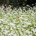 写真: 蕎麦の花とシジミチョウ