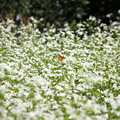 蕎麦の花とシジミチョウ