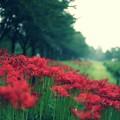 写真: 川越水上公園の土手の彼岸花