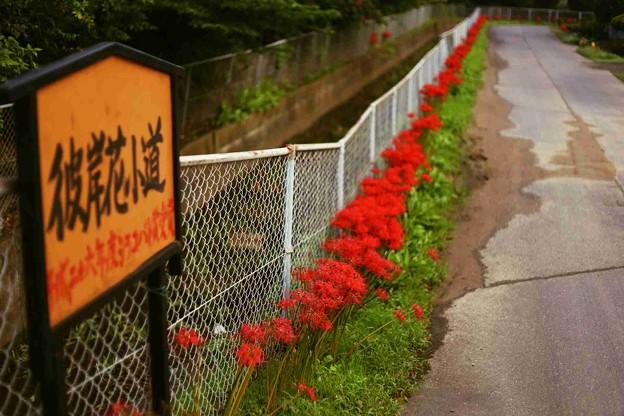 写真: 川越水上公園の彼岸花小道