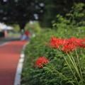 写真: 川越水上公園、ジョギングコース脇の彼岸花