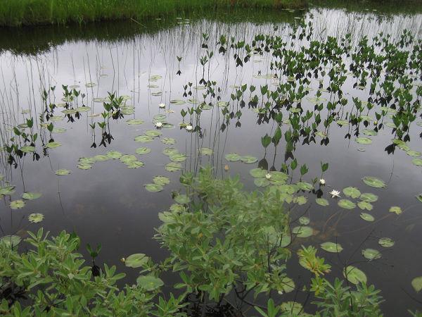 13.16 池塘とヒツジグサs