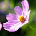 秋桜の詩'15-11