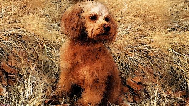 愛犬ティアモの絵