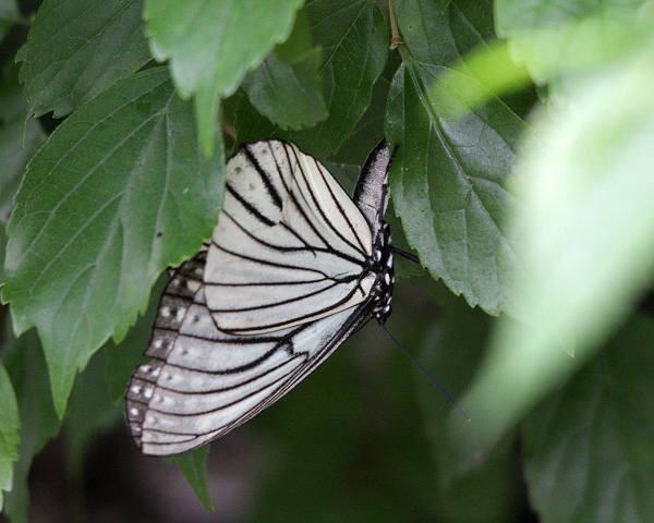 産卵中のアカホシゴマダラ(春型)